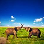 Eelephants, Kenya