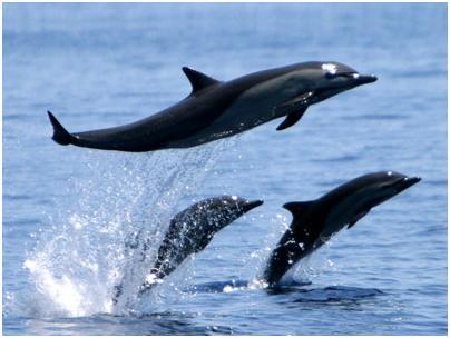 Musandam Dolphins